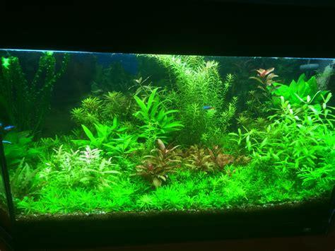 quelle plante pour un beau gazon dans aquarium