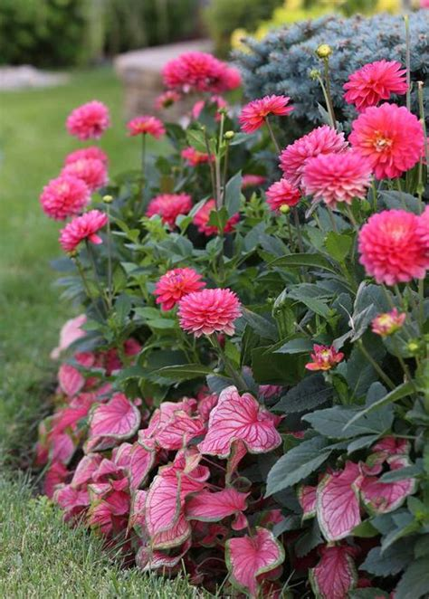 how to grow border dahlias