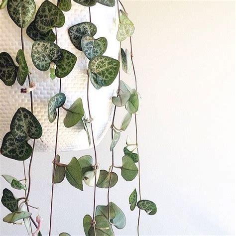 zoom sur le ceropegia une plante parfaite pour ma salle de bain roselia gardenroselia garden
