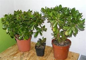 Große Zimmerpflanzen Pflegeleicht : pflegeleichte zimmerpflanzen 18 vorschl ge ~ Markanthonyermac.com Haus und Dekorationen