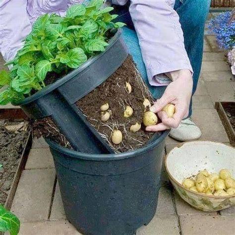 brillant un seau sp 233 cial pour faire pousser les pommes de terre jardins balcons et ps