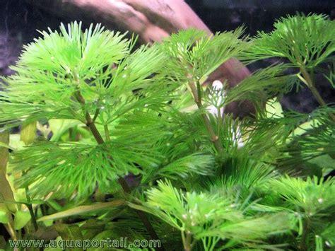 nouvelles plantes aquatiques pour aquarium et aquascaping page 9