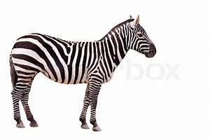 Schwarz Weiß Kontrast : zebra tier tiere afrika streifen schwarz wei kontrast s ugetier exotisch fell ~ Markanthonyermac.com Haus und Dekorationen