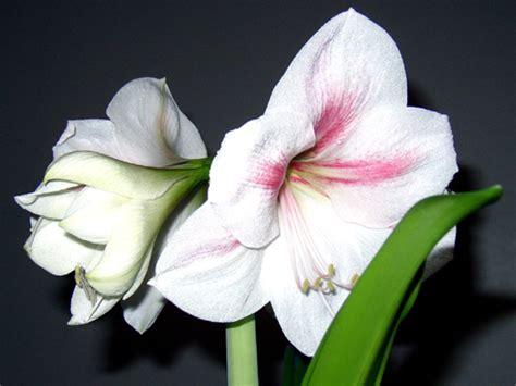 amaryllis hippeastrum fleur rempotage entretien arrosage