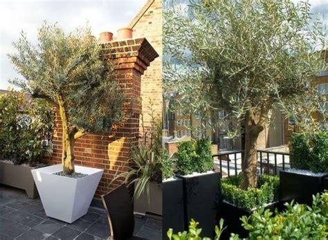 17 meilleures id 233 es 224 propos de olivier en pot sur arbuste en pot pots 224 billes et tuin