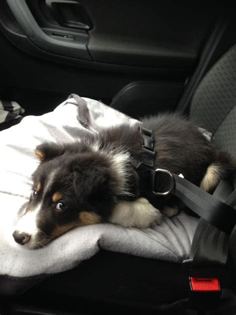 Luchtbed Hond by Hond Of Puppy Vervoeren In De Auto Tips Van Hondenexpert