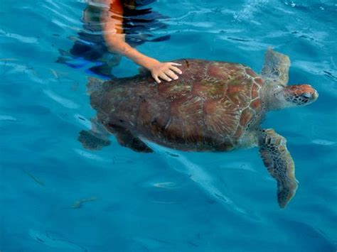 Glass Bottom Boat St James Barbados by Swimming With The Turtles Foto Di Barbados Caraibi