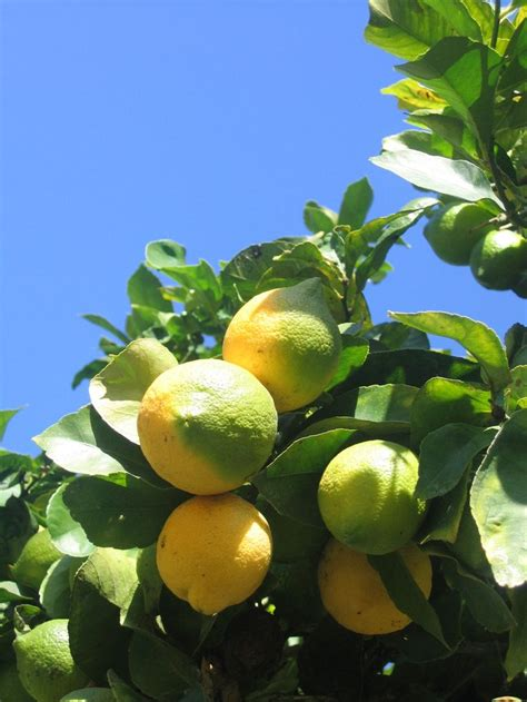 1000 ideas about lemon tree plants on lemon tree potted growing lemon seeds and