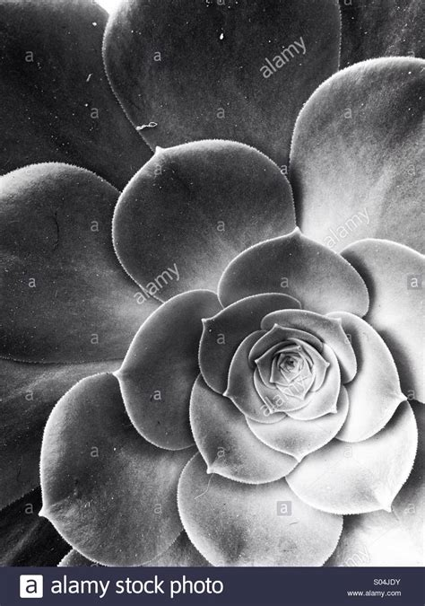 Succulent flower in black and white Stock Photo 309888935