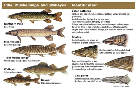 How Long Is An Ohio Boating License Good For by Walleye
