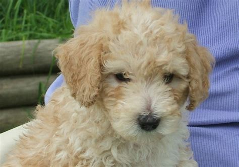do cockapoos shed as puppies hypoallergenic small dogs for adoption breeds picture