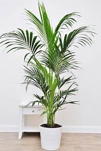Palmen Für Die Wohnung : kentia palme tuff palmen pflanzen der palmenmann ~ Markanthonyermac.com Haus und Dekorationen
