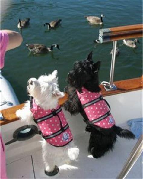 Zwemvest Voor Chihuahua honden met zwemvest hondenwoordenboek nl