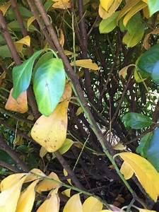 Lorbeer Gelbe Blätter : der pflanzenarzt vom ndr ist die pflanze krank klickt den pflanzenarzt ~ Markanthonyermac.com Haus und Dekorationen