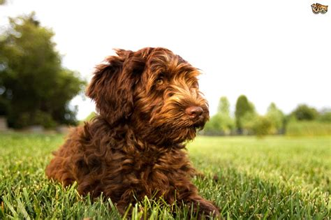 The Top 5 Most Popular Crossbreed Or Hybrid Dog Breeds In
