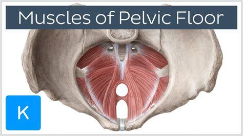 muscles of the pelvic floor kenhub