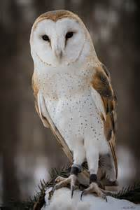 barn owl for barn owl cake ideas and designs