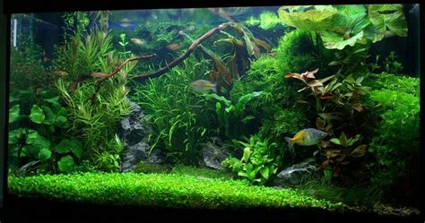 25 best ideas about plante aquarium eau douce on plantes d aquarium d eau douce