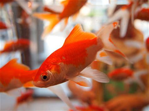 les poissons rouges en aquarium clinique v 201 t 201 rinaire du hohlandsbourg