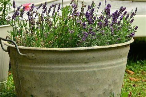 lavande en pot plantation culture bio taille vari 233 t 233 s