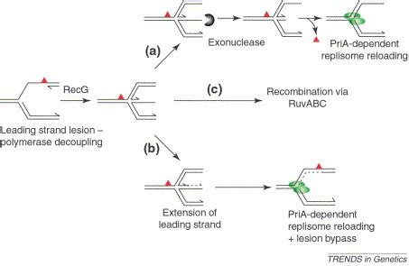 The Leading Strand Template Forms A Priming Loop by Genome Stability And The Processing Of Damaged Replication