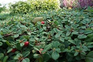 Immergrüne Winterharte Kübelpflanzen : immergr ne gartenstr ucher 23 bl hende und winterharte arten ~ Markanthonyermac.com Haus und Dekorationen