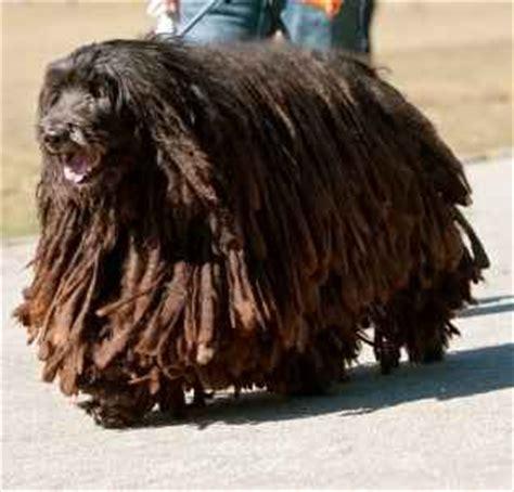 small medium non shedding breeds large non shedding dogs