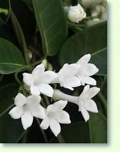 Jasmin Zimmerpflanze Pflege : stephanotis erfolgreich pflegen pflanzenfreunde ~ Markanthonyermac.com Haus und Dekorationen