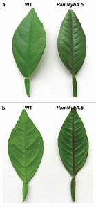 (a) Adaxial and (b) Abaxial surfaces in young leaves in a ...