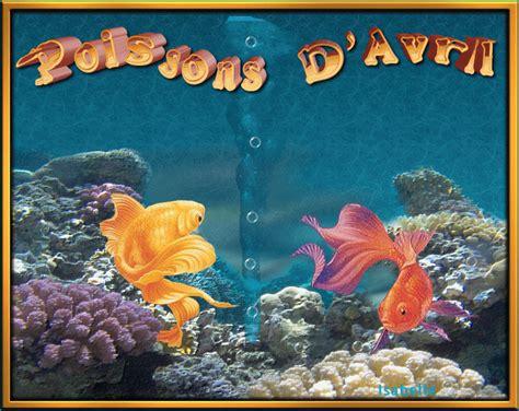 quot poissons d avril quot deux combattants dans un aquarium