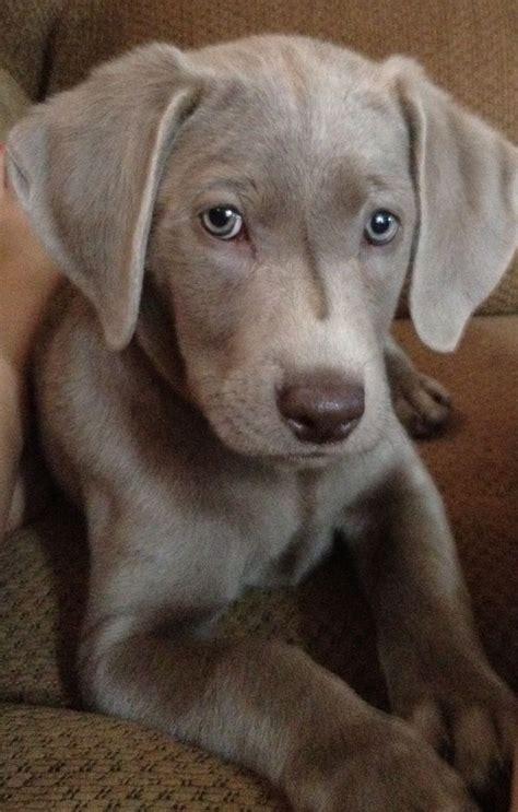 25 best ideas about weimaraner puppies on