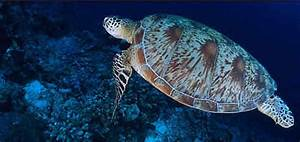 Green turtle | WWF