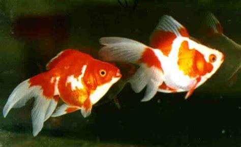 fantail sabao xl poissons eau froide vente magasin uniquement d aquariums comette