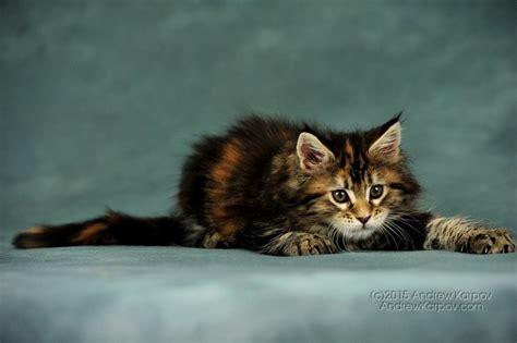 maine coon chats de papier peint maine coon beau fond d 233 cran pour