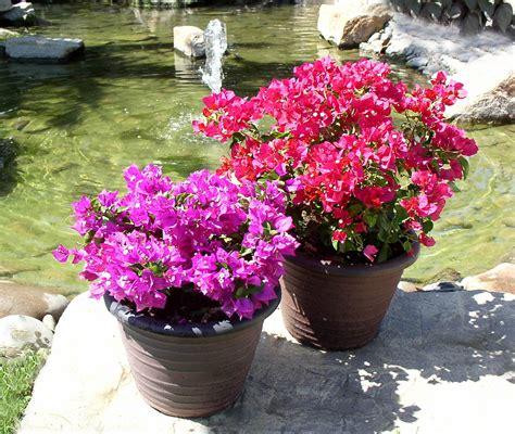 how to grow bougainvillea in a pot nurserylive gardening in india