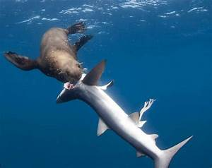 Hambrienta foca se come cinco tiburones azules (vídeo y ...