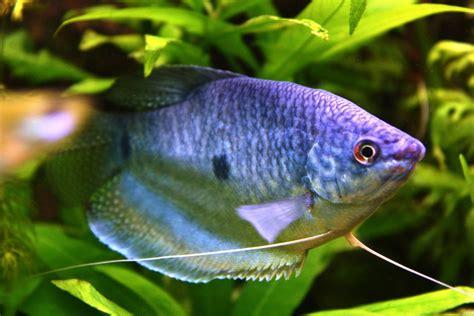 poisson d eau douce le gourami bleu trichogaster trichopterus animogen
