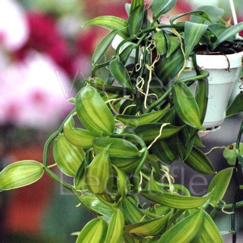 fiche de culture de l orchid 233 e vanille vanilla planifolia lorchidee fr vente fiches