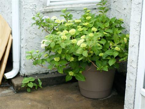 planter un hortensia
