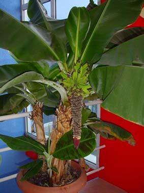 bananarama un bananier fruitier d int 233 rieur