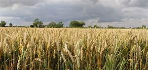 High wheat yields; a rollercoaster? - BCPC British Crop ...