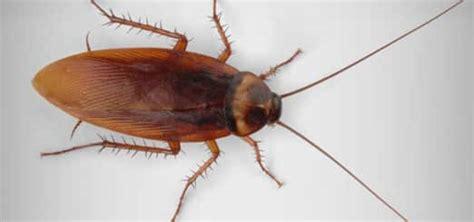 extermination coquerelles au qu 233 bec blattes et cafards