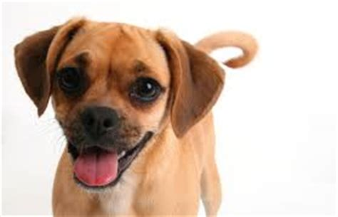 do puggles shed about doggies