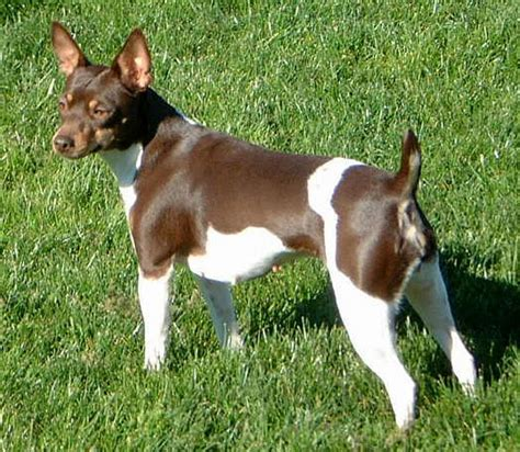 Rat Terrier Shedding Help by Rat Terriers Imageevent