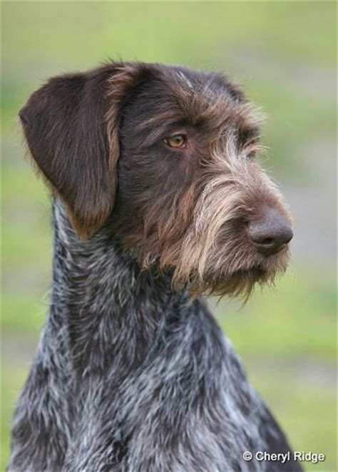 1000 images about german wirehaired pointer on