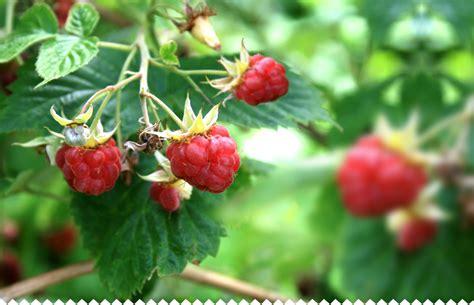 framboisier planter entretenir tailler soigner r 233 colter jaime jardiner