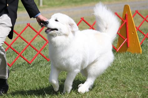 great pyrenees breed information great pyrenees images great pyrenees breed info
