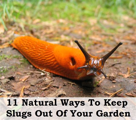 Pictures Of Slugs In The Garden ways to keep slugs out of the garden
