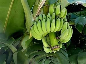 Pfeffer Pflanze Selber Züchten : bananen samen selber zuechten ~ Markanthonyermac.com Haus und Dekorationen