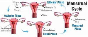 Menstrual Cycle - Everything you need to know - Kailasha ...